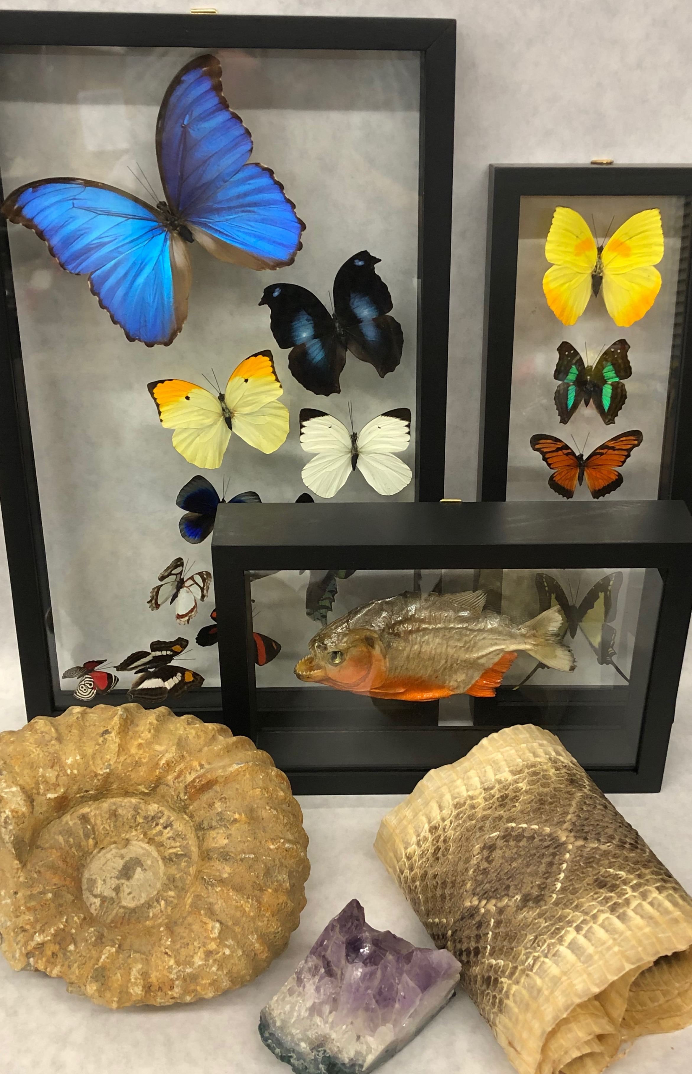 Oddities for sale, butterflies for sale, rare items for sale,